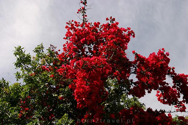 Piękne kwiaty na Kos.