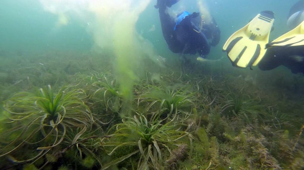 Podwodne noliny? Identyczne rosną w donicach na naszym tarasie... ;)