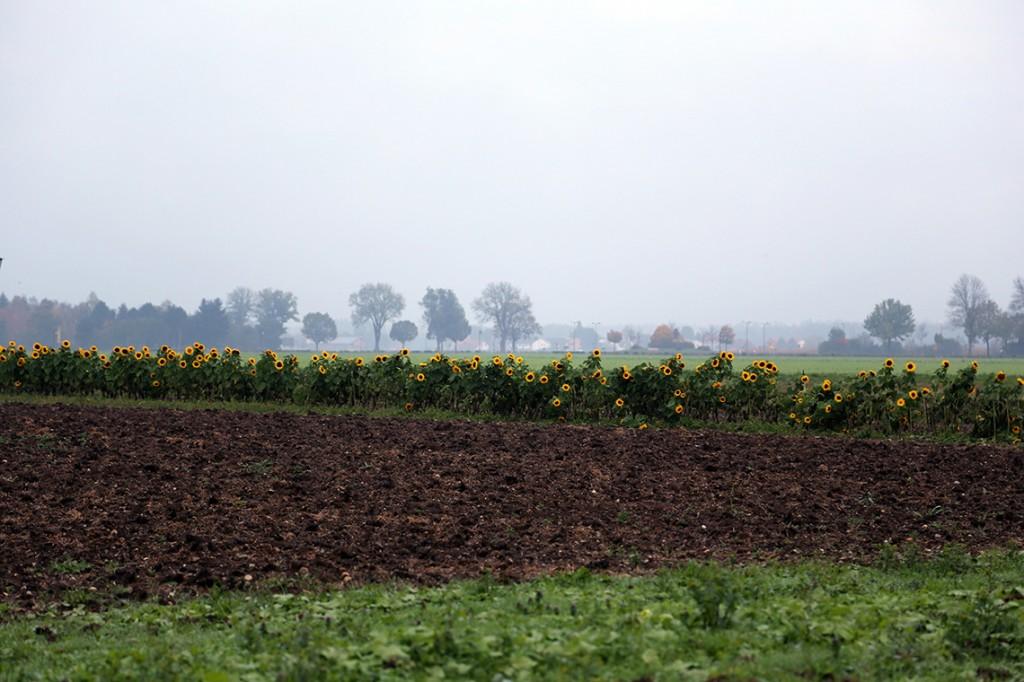 Po jednej stronie drogi dynie, a po drugiej - rząd pięknych słoneczników!