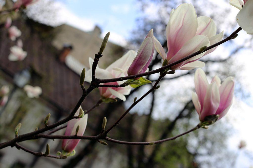 Cieszyńskie magnolie raz jeszcze, w przybliżeniu.