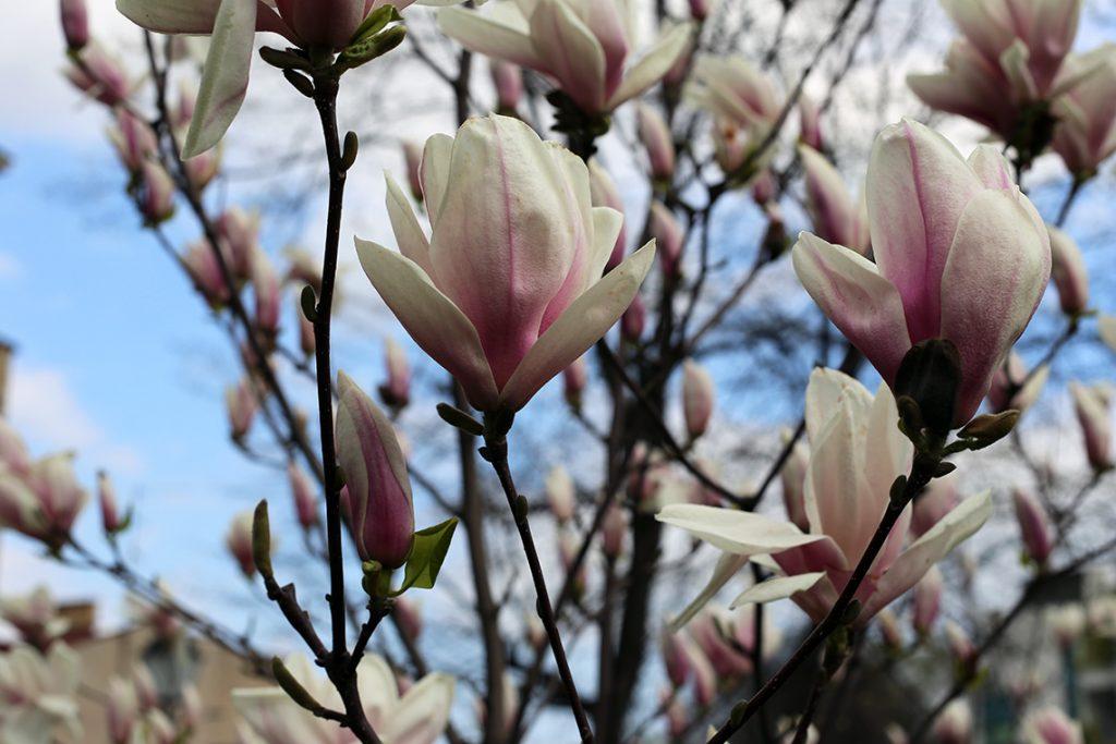 ...jeszcze więcej magnolii...