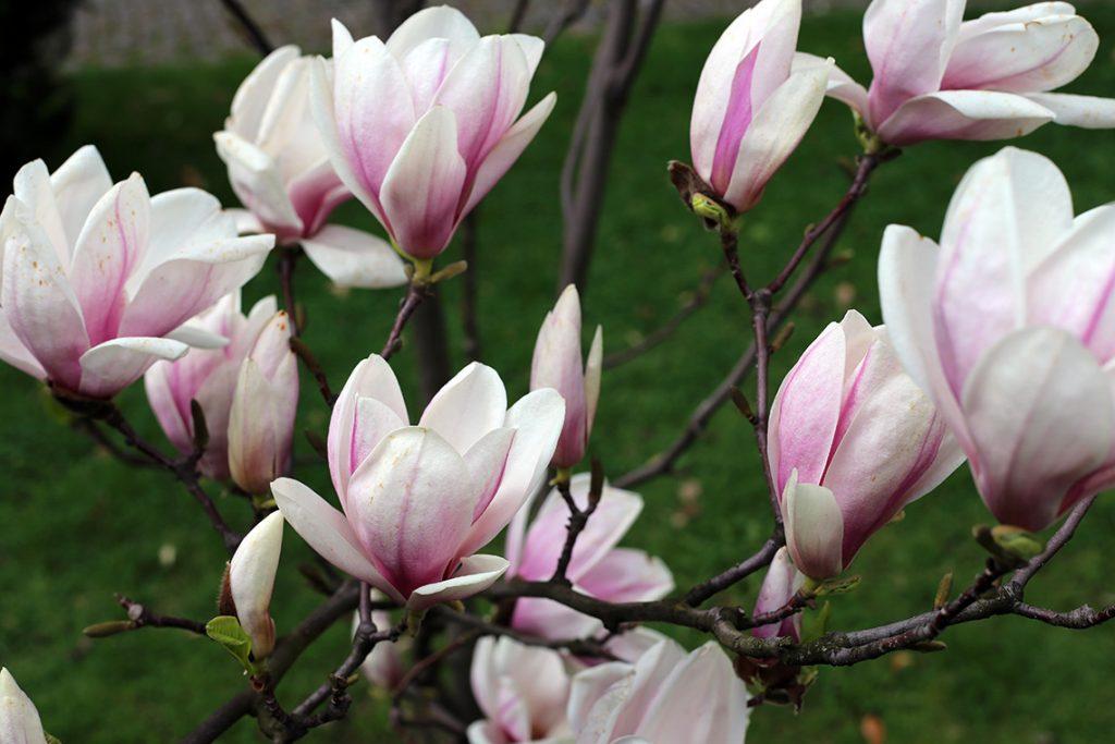 Przepiękne cieszyńskie magnolie...