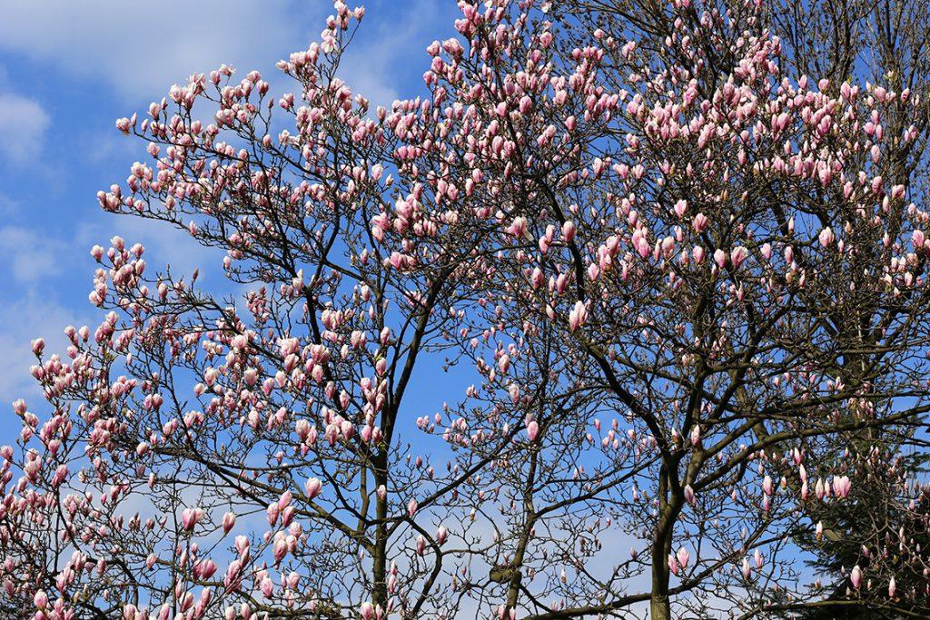 ...i jeszcze więcej magnolii! ;)