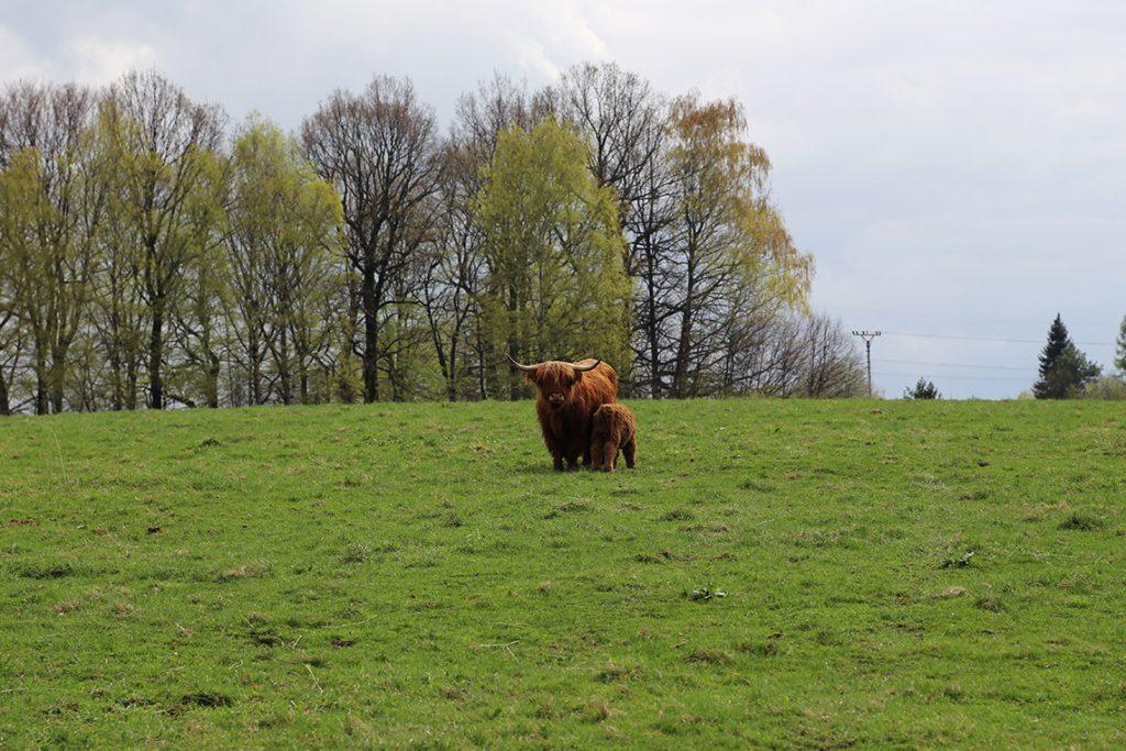 Mamuśka z młodym. Krowy rasy szkockiej wyżynnej (Highland Cattle).