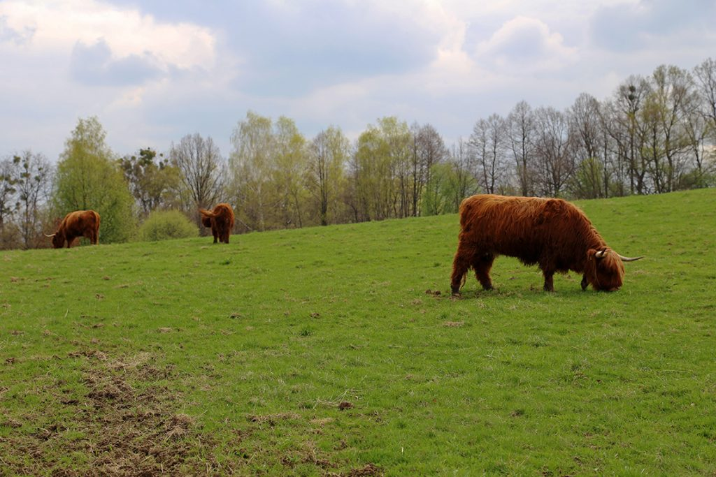 Mała niespodzianka tuż za płotem - krowy szkockiej rasy wyżynnej.
