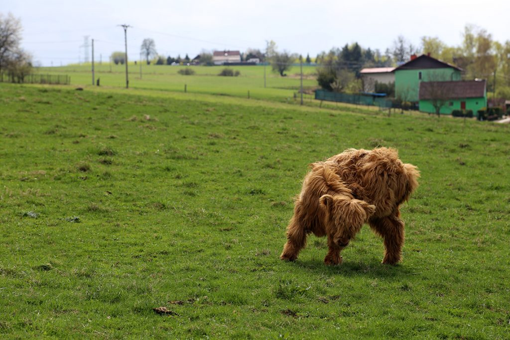 Szkockie cielę Highland Cattle na czeskiej łące.