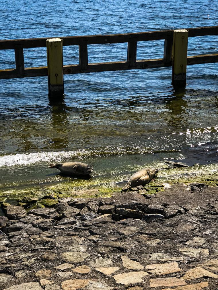 Foki na Molo Południowym w Gdyni, 10 maja 2020