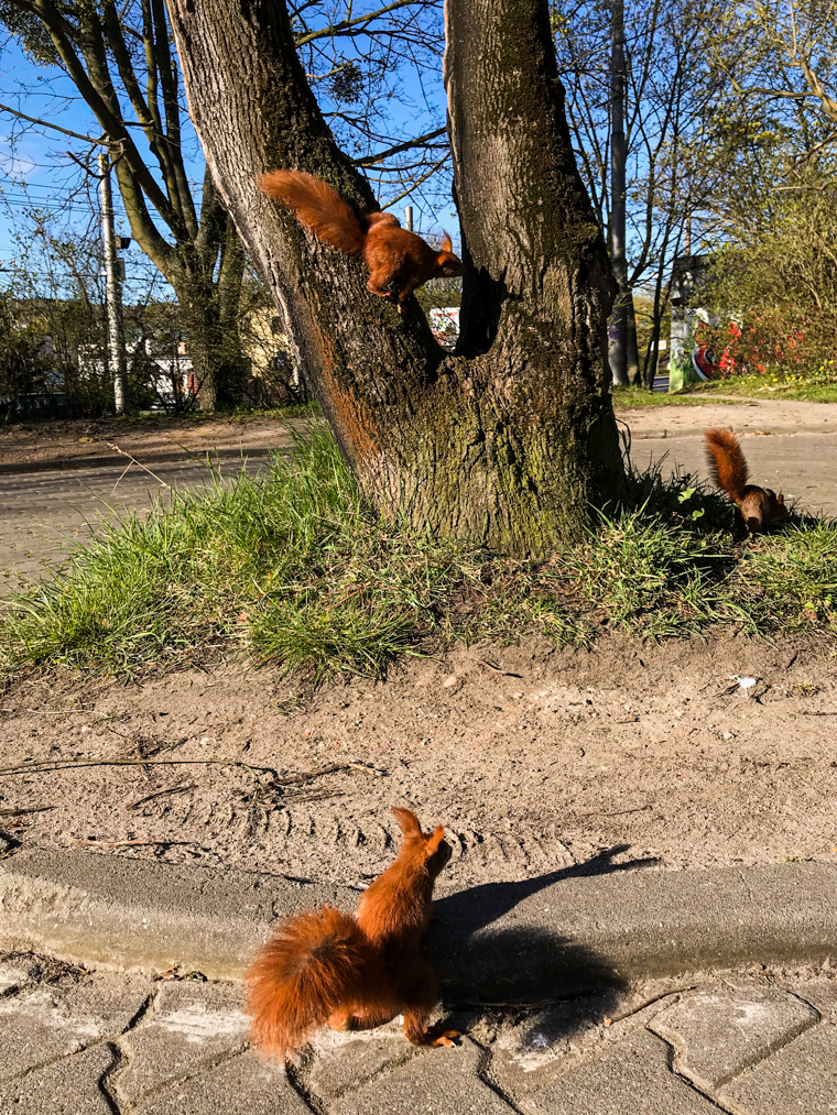 Wiewiórki w środku miasta! Gdynia, 20 kwietnia 2020
