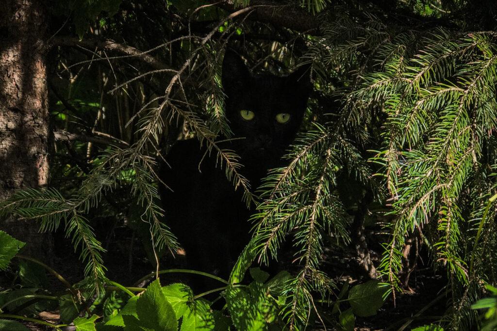 Zielonooki czarny kot napotkany w Gdyni
