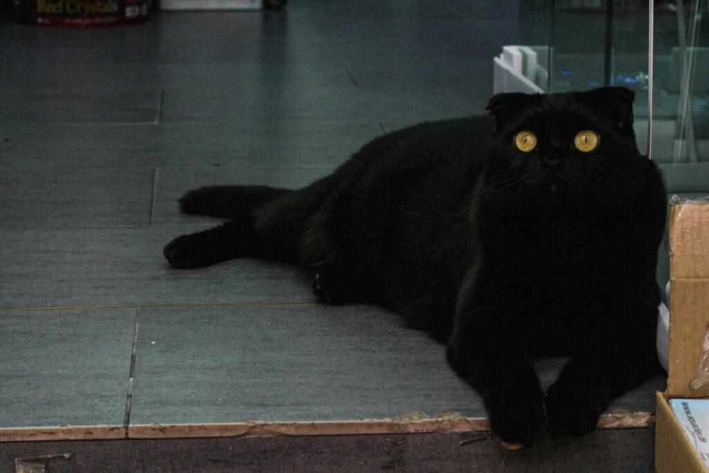 Czarny kot zwisłouchy. Hongkong, Chiny 2013