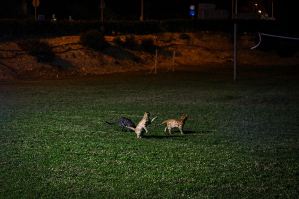 Kocie harce w hotelu Tofinis. Ayia Napa, Cypr 2018