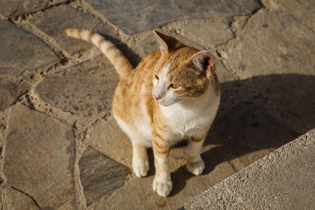 Rudy kot w Agioi Anargyroi, Cypr 2018