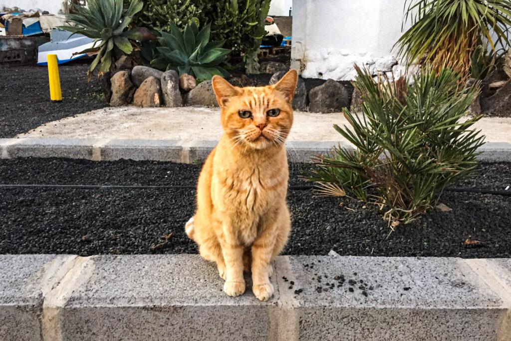 Kanaryjski Garfield, Lanzarote 2014